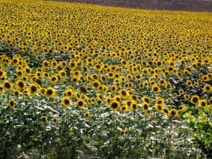 233_tuscany_s_sunflowers