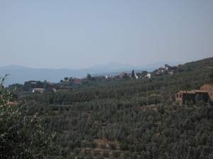 386_vinci_olive_groves
